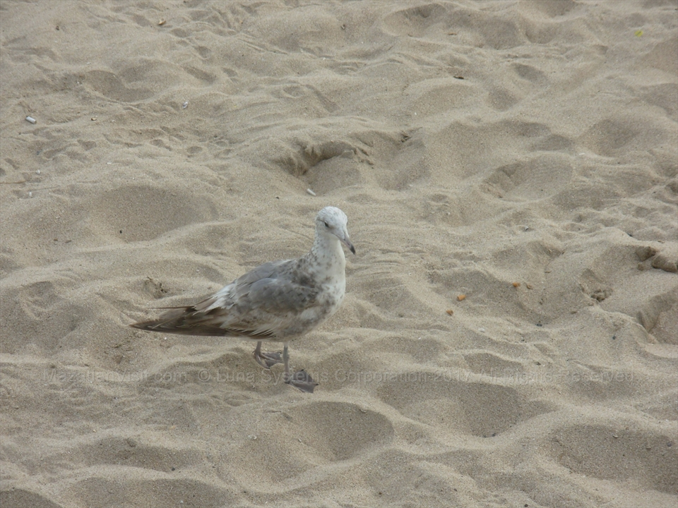 Bird on beach in Mazatlán, Sinaloa, Mexico